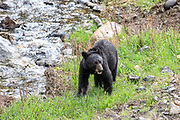 Young black bear in streamside habitat