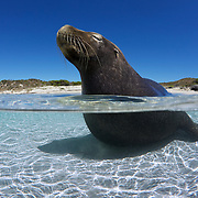Sea lions often sit or lie in shallow water, as this mature adult male is doing. This might be to help regulate body temperature on hot, sunny days