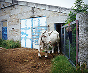 A cow going to the community fields of Pitoes das Junias. Still today the farmer bring their animal in common fields owned by the entire community. Very often 2/3 people of the village watch after the animal of all the farmers of the village.