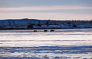 Female polar bear with two large cubs walking across a frozen pond near Hudson Bay  Ursus maritimus, Hudson Bay, Canada