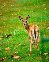 Young Doe. Image taken with a Fuji X-H1 camera and 200 mm f/2 OIS lens + 1.4x teleconverter