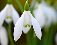 Galanthus S. Arnott (Snowdrop)