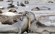 Two young male Southern Elephant Seals (Mirounga leonina) spar in preparation for adult life. Shingle Cove, Coronation Island, South Orkney Islands, Antarctica. 28Feb16