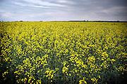 Hongarije, Papa, 30-4-2004Platteland. Veld met koolzaad, grondstof voor biodiesel diesel brandstof. Landbouw, subsidie, eu, e.u., Europese unie, Foto: Flip Franssen/Hollandse Hoogte