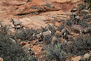 Endangered desert bighorn ewes and lambs in desert habitat. Several of the ewes are wearing telemetry collars.