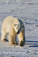 01874-12419 Polar bear (Ursus maritimus) walking in winter, Churchill Wildlife Management Area, Churchill, MB Canada