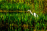 Limited Edition of 35: Floria Everglades before sunset as this White Egret is hunting for dinner. (Previously sold to Tampa General Hospital and a few resorts in Florida). RAW to Jpg