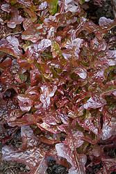 Lettuce 'Aruba' - red oak leaf lettuce