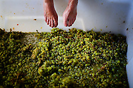 Clara Brinkmeier(feet), prepares to crush grapes in a holding container before fermentation at Vinavanti in San Diego, CA on Thursday, August 15, 2013.(Photo by Sandy Huffaker for The SF Chronicle)