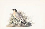 The brahminy myna or brahminy starling (Sturnia pagodarum syn Sturnus pagodarum and Temenuchus pagodarum) is a member of the starling family of birds. It is usually seen in pairs or small flocks in open habitats on the plains of the Indian subcontinent. 18th century watercolor painting by Elizabeth Gwillim. Lady Elizabeth Symonds Gwillim (21 April 1763 – 21 December 1807) was an artist married to Sir Henry Gwillim, Puisne Judge at the Madras high court until 1808. Lady Gwillim painted a series of about 200 watercolours of Indian birds. Produced about 20 years before John James Audubon, her work has been acclaimed for its accuracy and natural postures as they were drawn from observations of the birds in life. She also painted fishes and flowers.
