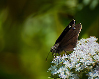 Small black butterfly (Common Skipper?). Image taken with a Nikon N1V3 camera and 70-300 mm VR lens