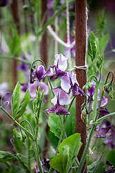 Lathyrus odoratus 'Nimbus' - Sweet pea