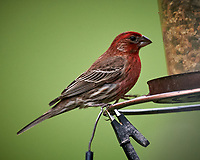 House Finch. Image taken with a Nikon D5 camera and 600 mm f/4 VR lens