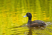 New Zealand Scaup Pictures - Photos