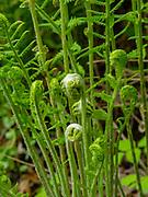 Fern fiddleheads growing in a garden, Fitchburg, Wisconsin, USA.