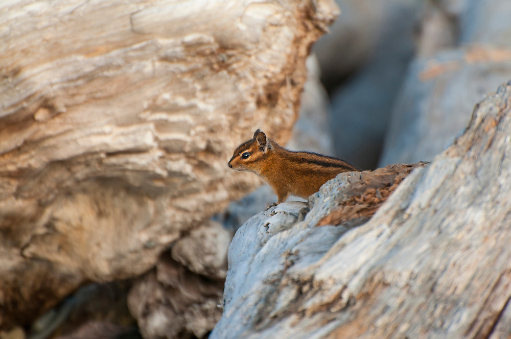 A cautious Townsend's chipmunk peers out of a pile of driftwood on Ruby Beach on Washington's Pacific Coast. Unlike many forest-dwelling species, Townsend's chipmunks tend to thrive in disturbed locations, and can adapt quickly to major changes in their environment.