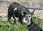 An old heritage breed of black and white pigs is optimized with longer legs for walking to market. Conner Prairie Interactive History Park provides family-friendly fun for all ages in Fishers, Indiana, USA. Founded by pharmaceutical executive Eli Lilly in the 1930s, Conner Prairie living history museum now recreates life in Indiana in the 1800s on the White River and preserves the William Conner home (listed on the National Register of Historic Places).