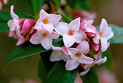 The highly scented flowers of Daphne bholua 'Jacqueline Postill'