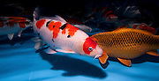"Red white and black sanke Variety Koi (Japanese: literally ""brocaded carp""), are ornamental domesticated varieties of the common carp (Cyprinus carpio) that are kept for decorative purposes in outdoor koi ponds or water gardens. Koi are among the longest-living vertebrates, with some animals living over 200 years. Koi varieties are distinguished by colour, patterns, and scales. The most popular category of koi is the Gosanke, which is made up of the Kohaku, Taisho Sanshoku, and Showa Sanshoku varieties.Photographed at the handpick pools at Kibbutz Maagan Michael aquaculture breeding farm, Israel"