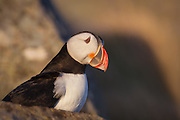 Puffin at sunset in Lundeura, Runde, Norway | Lundefugl i solnedgang i Lundeura, Runde, Norge