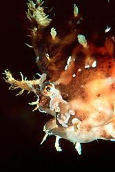 sargassum fish or sargassum anglerfish, Histrio histrio, Kona, Big Island, Hawaii, USA, Pacific Ocean ( c )