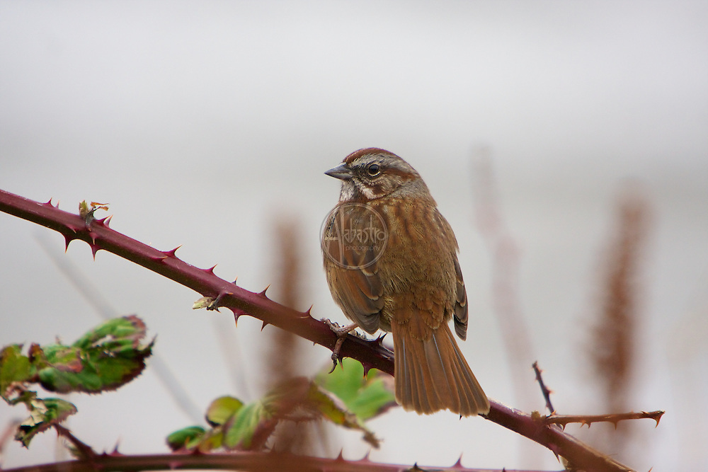 Lincoln Sparrow at Discovery Park, Jan 2013.