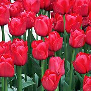 A flower bed of red tulips. Photo by Adel B. Korkor.
