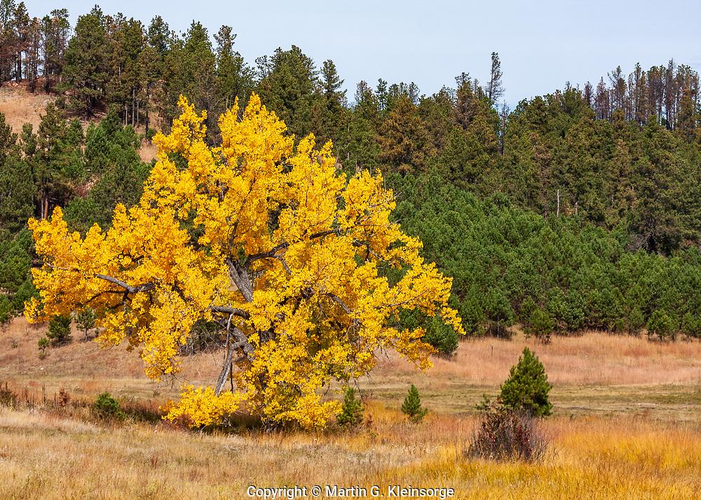 Plains cottonwood tree along French Creek during the autumn season at Custer State Park, South Dakota.