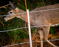 Deer on the correct side of the Electric Fence. Image taken with a  Fuji X-H1 camera and 200 mm f/2 camera + 1.4x teleconverter (ISO 1600, 280 mm, f/2.8, 1/400 sec).