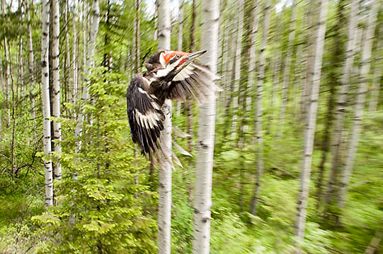 Pileated Woodpecker (Dryocopus pileatus) Largest woodpecker commonly seen in North America. Montana. Summer.