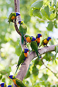 Rainbow Lorikeets perched on a branch, Queensland, Australia