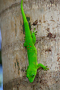 Close up of a Green Gecko on a branch. Photographed in Madagascar