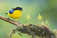Blue-winged Mountain Tanager, Anisognathus somptuosus