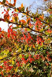Zuurbes, Berberis vulgaris