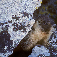 A Yellow-Bellied Marmot peers out from its shelter between talus boulders in California's Sierra Nevada.
