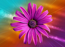 A bold and vibrant macro closeup of a pink and purple Marguerite Daisy against a textured rainbow colored backdrop. A bit of a hippy vibe that screamed a bit of flower power for me.<br /> <br /> This spray flower has a classic bloom with many ray petals radiating out from a disk-shaped center. This colorful package of popping purple tinted daisies would add an alluring appeal to any wedding bouquet, table centerpiece or flower arrangement! <br /> <br /> The Marguerite daisy or also know as the Argyranthemum frutescens, is a lovely daisy featuring a large middle of the flower generally yellow but depending on the variety they can also be pinkish in color.<br /> <br /> The petals of the Marguerite are generally white, pink, or yellow. They can have single or double blooms and they are usually 1-2 inches in size. The leaves and such of Marguerite daisies are a blue-green color, thin and almost fern like.<br /> <br /> The Marguerite daisy does best in richly fertilized, well drained soil. They also like to be planted in fully sunny areas. They work really well as a boarder or on the outside edge of your year or garden adding the perfect splash of color to the area.<br /> <br /> This type of daisy is a pretty hardy plant, if you have them planted outside make sure to water them about twice a week. If the plant starts to wilt it is a sign that they need a bit more water. Keep the soil moist pretty often, but never all the time because like with most plants, their root will rot if left in constant water.
