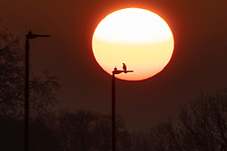 © Licensed to London News Pictures. 20/04/2021. London, UK. A bird perches on a lamppost during sunrise on Blackheath Common in South East London. Temperatures are expected to rise with highs of 16 degrees forecasted for parts of London and South East England today . Photo credit: George Cracknell Wright/LNP