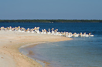 A group of pelicans gather at Indian Key during low tide. Indian Key is a popular place to stop while exploring the 10,000 islands unit of Everglades National Park.<br />