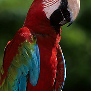 Green-winged Macaw, (Ara chloroptera) In bird park. Ranges from Central to South America. Captive Animal.