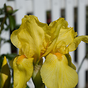 Bearded irises have a fuzzy area on the lower petal of the flower.  Here two bearded yellow irises dispay their vibrant color.  Iris is a genus of flowering plant with attractive flowers containing between 200-300 species. It takes its name from the Greek word for a rainbow, referring to the wide variety of flower colors found among the many species.
