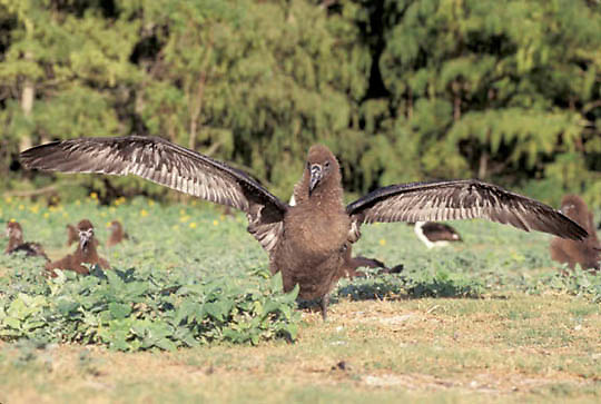 Black-footed Albatross (Diomeda nigripes) Chick stretching wings. Midway Island. Hawaii.