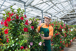 Male gardener looking at potted plant in greenhouse, Augsburg, Bavaria, Germany