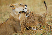 Lion snuggles with two cubs, after the rain.
