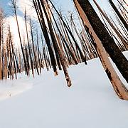 Forrest Jillson skis amongst the wildfire burned trees in the Teton backcountry.