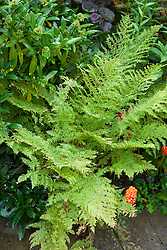 Athyrium filix-femina 'Clarissima Jones' with Skimmia x confusa 'Kew Green'. Lady fern or common lady-fern