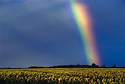 Rainbowover sunflower field after storm<br />Dugald