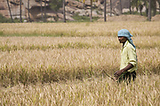 Indian man standing in field during the rice harvest, in a field near Hampi, Karnataka, India.