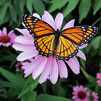 """""""Stay Lady Stay""""<br /> <br /> A lovely butterfly captured just for a second atop a Purple Cone Flower!!<br /> <br /> Nature of this World by Rachel Cohen"""