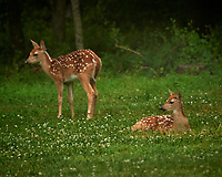 Pair of Spotted Fawns dropped off at Daycare. Image taken with a Nikon D5 camera and 600 mm VR lens