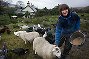 """Sarah Leggitt feeds her livestock on her land and near the estate cottage, a former Smithy with livestock at Lochbuie, Isle of Mull, Scotland. She and her husband moved from southern England 6 years ago to work for the Lochbuie Estate and the old Smithy is provided to them as living accommodation. Lochbuie is a settlement on the island of Mull in Scotland about 22 kilometres (14 mi) west of Craignure. The name is from the Scottish Gaelic Locha Buidhe, meaning """"yellow loch"""". http://lochbuie.com/Lochbuie"""